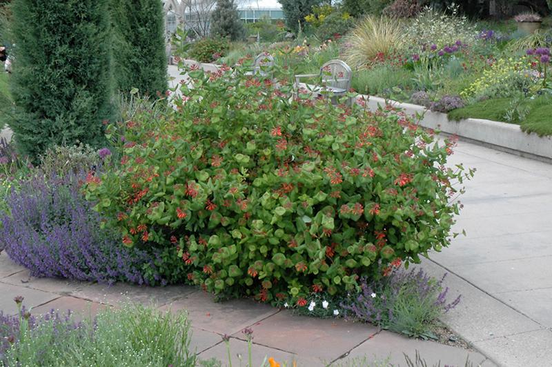 Marvelous Dropmore Scarlet Trumpet Honeysuckle (Lonicera X Brownii U0027Dropmore  Scarletu0027) At Gardeneru0027s Supply