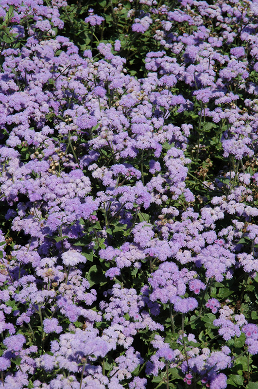 High Tide Blue Flossflower (Ageratum 'High Tide Blue') at Gardener's Supply Company