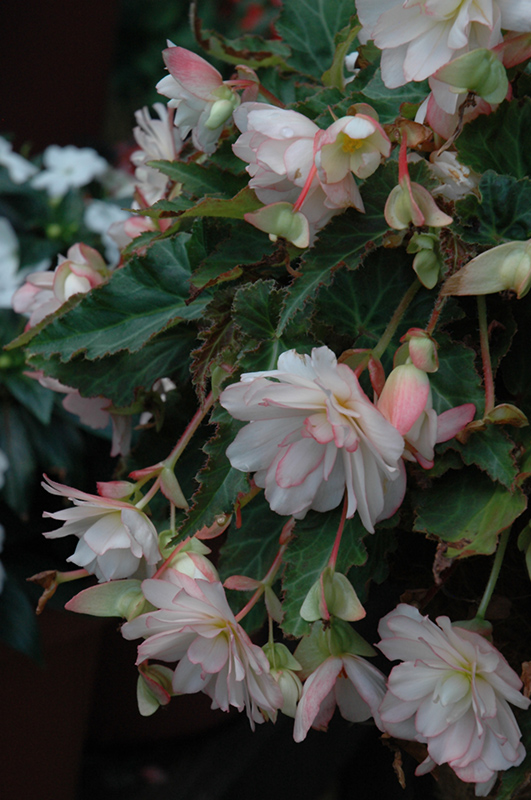 Miss Montreal Begonia (Begonia 'Miss Montreal') at Gardener's Supply Company