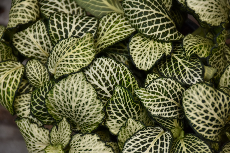 Mosaic Plant (Fittonia albivenis) at Gardener's Supply Company