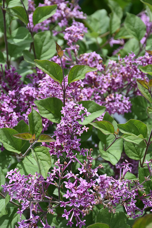 Bloomerang Dark Purple Lilac (Syringa 'SMSJBP7') at Gardener's Supply Company
