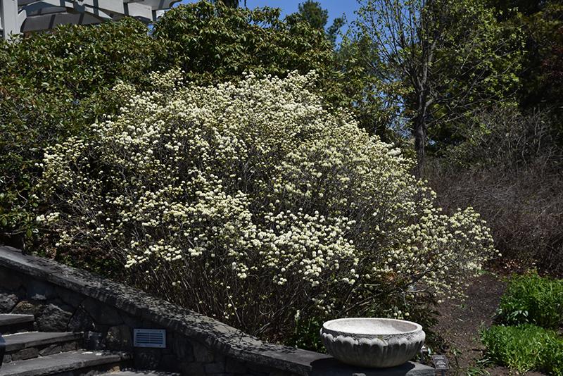 Dwarf Fothergilla Fothergilla Gardenii In Burlington Williston Vermont Plattsburgh Vermont Vt