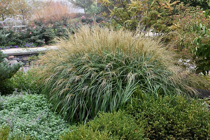 Adagio Maiden Grass (Miscanthus sinensis \'Adagio\') in Burlington ...