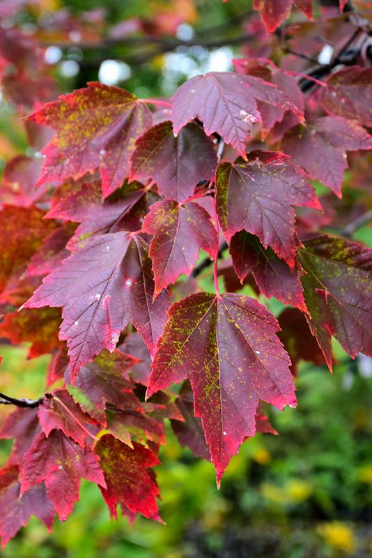 Red Sunset Red Maple (Acer Rubrum U0027Red Sunsetu0027) At Gardeneru0027s Supply Company