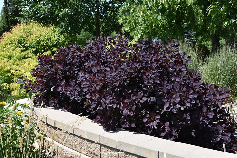 Royal Purple Smokebush (Cotinus Coggygria U0027Royal Purpleu0027) At Gardeneru0027s  Supply Company
