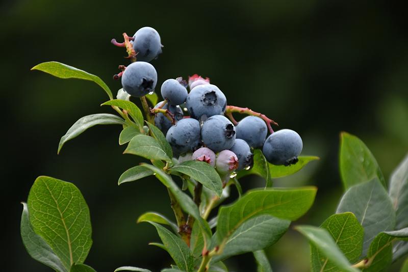 Northland Blueberry Vaccinium Corymbosum 39 Northland 39 In Burlington Williston Vermont