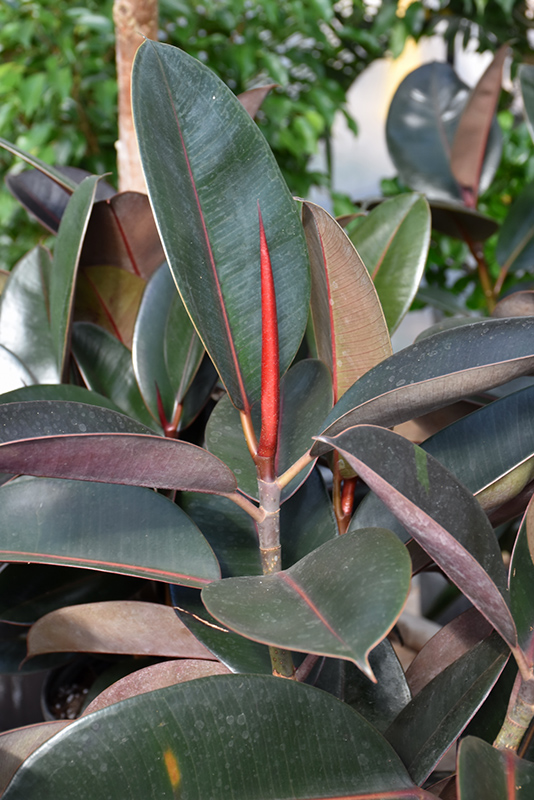 Burgundy Rubber Tree (Ficus elastica 'Burgundy') at Gardener's Supply Company