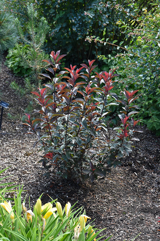 Darkstar Purple Leaf Sand Cherry (Prunus x cistena 'UCONNPC001') at Gardener's Supply Company