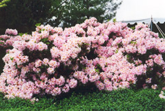 English Roseum Rhododendron (Rhododendron catawbiense 'English Roseum') at Gardener's Supply Company