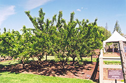 Mount Royal Plum (Prunus 'Mount Royal') at Gardener's Supply Company