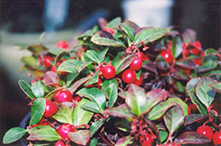 Creeping Wintergreen (Gaultheria procumbens) at Gardener's Supply Company