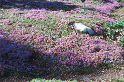 Mother-of-Thyme (Thymus praecox) at Gardener's Supply Company