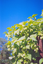 Hops (Humulus lupulus) at Gardener's Supply Company