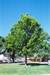Red Oak (Quercus rubra) at Gardener's Supply Company