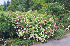 Shirobana Spirea (Spiraea japonica 'Shirobana') at Gardener's Supply Company