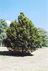 American Hornbeam (Carpinus caroliniana) at Gardener's Supply Company