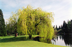 Golden Weeping Willow (Salix x sepulchralis 'Chrysocoma') at Gardener's Supply Company