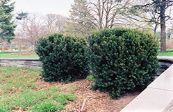 Hill's Yew (Taxus x media 'Hillii') at Gardener's Supply Company