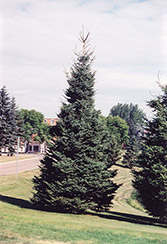 Black Hills Spruce (Picea glauca 'Densata') at Gardener's Supply Company