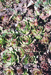Kalinda Hens And Chicks (Sempervivum 'Kalinda') at Gardener's Supply Company