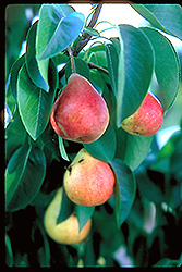 Summercrisp Pear (Pyrus 'Summercrisp') at Gardener's Supply Company