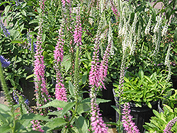 Baby Doll Speedwell (Veronica spicata 'Baby Doll') at Gardener's Supply Company