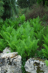 Ostrich Fern (Matteuccia strutheriopteris) at Gardener's Supply Company