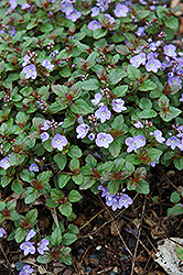 Waterperry Blue Speedwell (Veronica 'Waterperry Blue') at Gardener's Supply Company