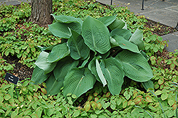 Blue Angel Hosta (Hosta 'Blue Angel') at Gardener's Supply Company