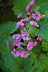 Japanese Primrose (Primula kisoana) at Gardener's Supply Company