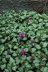 Red Nancy Spotted Dead Nettle (Lamium maculatum 'Red Nancy') at Gardener's Supply Company