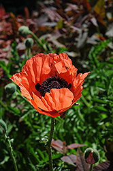 Carneum Poppy (Papaver orientale 'Carneum') at Gardener's Supply Company