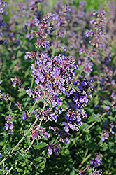 Walker's Low Catmint (Nepeta x faassenii 'Walker's Low') at Gardener's Supply Company