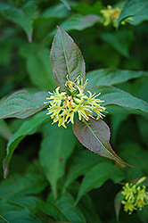 Bush Honeysuckle (Diervilla lonicera) at Gardener's Supply Company