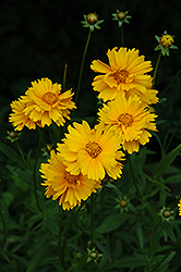 Early Sunrise Tickseed (Coreopsis 'Early Sunrise') at Gardener's Supply Company