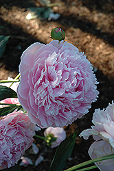 Shirley Temple Peony (Paeonia 'Shirley Temple') at Gardener's Supply Company