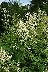 Goatsbeard (Aruncus dioicus) at Gardener's Supply Company