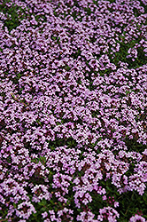 Red Creeping Thyme (Thymus praecox 'Coccineus') at Gardener's Supply Company