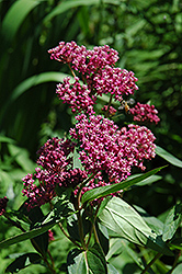 Swamp Milkweed (Asclepias incarnata) at Gardener's Supply Company