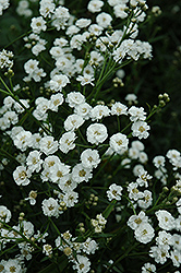 The Pearl Yarrow (Achillea ptarmica 'The Pearl') at Gardener's Supply Company