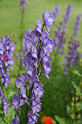 Common Monkshood (Aconitum napellus) at Gardener's Supply Company