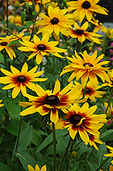 Becky Coneflower (Rudbeckia hirta 'Becky') at Gardener's Supply Company