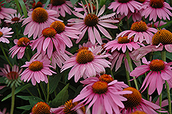 Magnus Coneflower (Echinacea purpurea 'Magnus') at Gardener's Supply Company