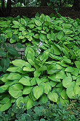 Gold Standard Hosta (Hosta 'Gold Standard') at Gardener's Supply Company