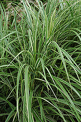 Variegated Silver Grass (Miscanthus sinensis 'Variegatus') at Gardener's Supply Company