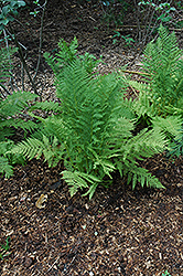 Lady Fern (Athyrium filix-femina) at Gardener's Supply Company