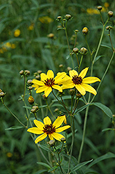 Tall Tickseed (Coreopsis tripteris) at Gardener's Supply Company