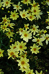 Creme Brulee Tickseed (Coreopsis 'Creme Brulee') at Gardener's Supply Company