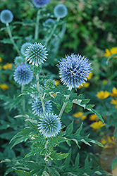 Globe Thistle (Echinops ritro) at Gardener's Supply Company
