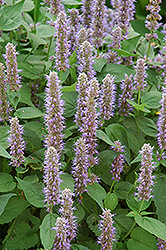 Blue Fortune Anise Hyssop (Agastache 'Blue Fortune') at Gardener's Supply Company